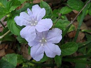 Wild Petunia Blue Flower 1.JPG