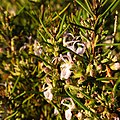 Wild Rosemary - Flickr - treegrow (2).jpg