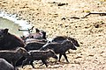 Wild boars hang out by the watering hole.jpg