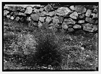 Wild flowers of Palestine. White mignonette (Reseda alba L.). LOC matpc.02420.jpg