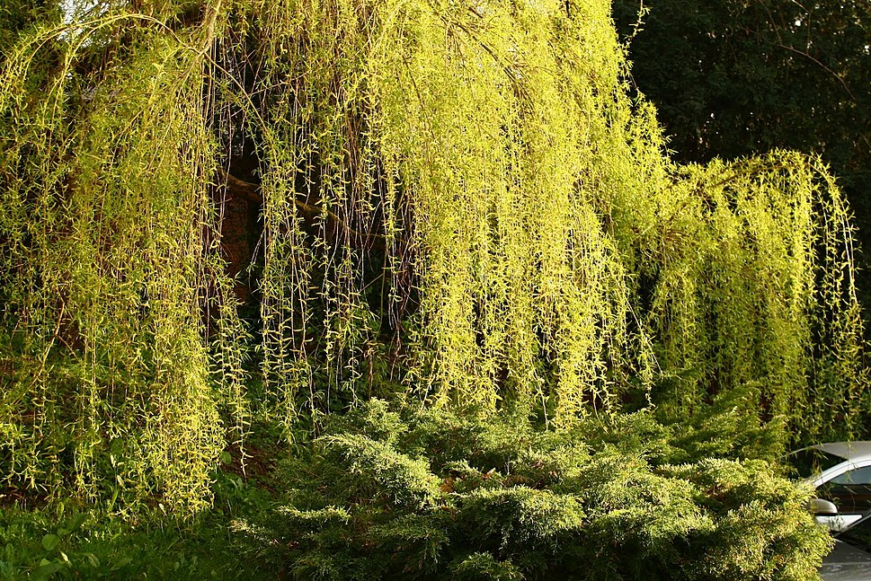 Willow tree in spring, England