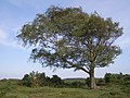 Windswept silver birch tree, Beaulieu Heath, New Forest - geograph.org.uk - 464677.jpg