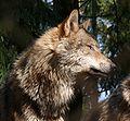 Wolf 608.JPG