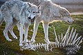 Wolves and bones.jpg