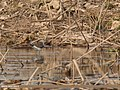 Wood Sandpiper (Tringa glareola) (33289205823).jpg