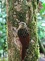 Xiphorhynchus lachrymosus.jpg