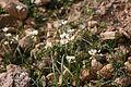 Yaiza Femés - Calle El Filo - Allium roseum 02 ies.jpg