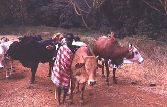Nomadic pastoralism - A young Maasai cattle herder in Kenya.