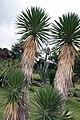Yucca aloifolia 2zz.jpg