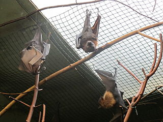 Small flying fox species of mammal