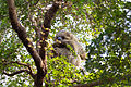 ZSL London - Two-toed Sloth 01.jpg