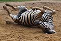 Zebra im Sand.jpg