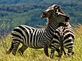 Zebrafight.jpg