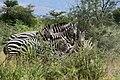 Zebras, Yabello Wildlife Sanctuary (4) (28654937403).jpg