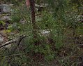 Zieria smithii habit.jpg