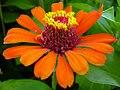 Zinnia Flowers گل آهاری 17.jpg
