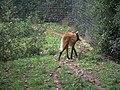 Zoo de Lunaret - Loup à crinière - P1600214.jpg