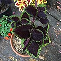 'Giant Exhibition Magma' coleus IMG 0892.jpg