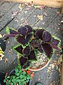 'Giant Exhibition Magma' coleus IMG 0968.jpg