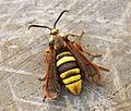 (0370) Hornet Moth (Sesia apiformis) - Female (7399845350).jpg
