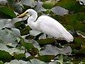(1)Egret feeding 038.jpg