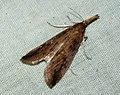 (1328) Schoenobius gigantella (4779878824).jpg
