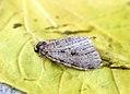 (1797) Autumnal Moth (Epirrita autumnata) Gen Det (8184699057).jpg