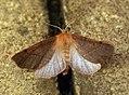 (1923) Feathered Thorn (Colotois pennaria) Aberration (8184735616).jpg