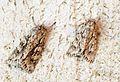 (2243) Early Grey (Xylocampa areola) - Flickr - Bennyboymothman.jpg