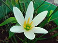 (Zephyranthes candida) White Ginger Lily 01.jpg