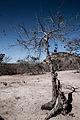 Árvore seca no Cerrado.jpg