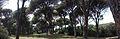 Δάσος Στροφυλιάς Pinus Pinea.jpg