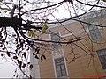 Альбиносный воробей - panoramio.jpg
