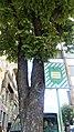 Вікові дерева по вул.Володимірській 01.jpg