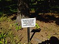 Дерево А.А. Леонова, посаженное на проспекте Лаврентьева в Новосибирске.jpg