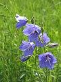 Дзвоник персиколисний (Campanula persicifolia) та бджола-запилявач. Схили Мар'їної гори.jpg