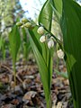 Конвалія травнева (Convallaria majalis) в заказнику Полігон.jpg