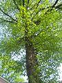 Крона дерева.JPG