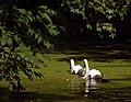 Рыльский район Марьино Парк Пруд Лебеди 3.jpg