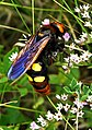 Сколія-гігант - красива велика комаха.jpg