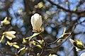 Тернопільські магнолії - Весняний цвіт - 17049697.jpg