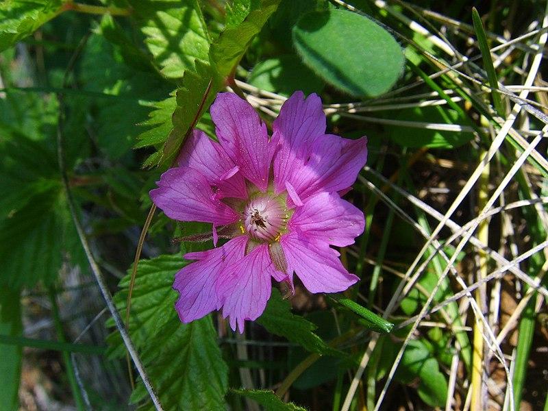 Цветок княженики обыкновенной (источник Википедия)