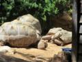 צב אלדברה Aldabrachelys gigantea.webp