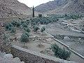 شجر الزيتون داخل وادي الاربعين والمملوك لدير سانت كاترين عمرة الالاف السنين.JPG
