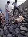 كمك بازديد كنندگان به سگ گرسنه در سد كردكندي - panoramio.jpg