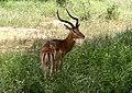 गज़ेल (Nanger Granti), त्सावो ईस्ट नेशनल पार्क, केन्या.jpg