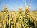 丰收的小麦(东同下) - panoramio.jpg