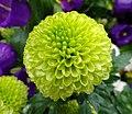 乒乓菊 Chrysanthemum morifolium Pompon Form -香港花展 Hong Kong Flower Show- (26727402587).jpg