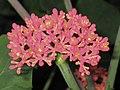 佛肚樹(玉樹珊瑚) Jatropha podagrica -香港動植物公園 Hong Kong Botanical Garden- (9207602070).jpg
