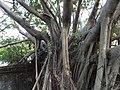 安平樹屋 Anping Tree House - panoramio (1).jpg